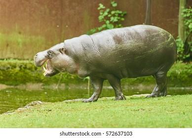 The pygmy hippopotamus (Choeropsis liberiensis or Hexaprotodon liberiensis) is a small hippopotami.