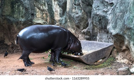 Pygmy hippopotamus in Zoo. It is a small hippopotamus which is native to the forest of West Africa.