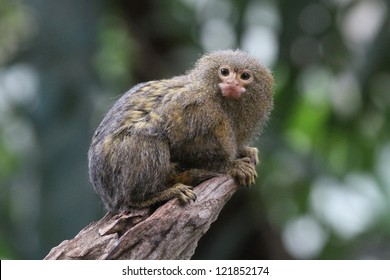 Pygmy marmoset (Cebuella pygmaea) closeup