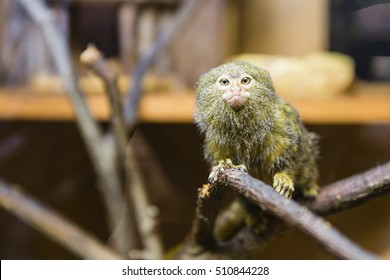 The pygmy marmoset - Cebuella pygmaea on the brench in cage