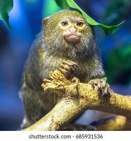 Pygmy marmoset sitting on the branch under the leaf