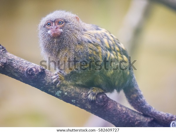 Pygmy Marmoset the smallest monkey with funny face and fluffy fur sitting on the branch with soft focus