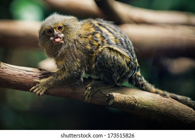 Pygmy Marmoset (The Smallest Monkeys in the World) closeup