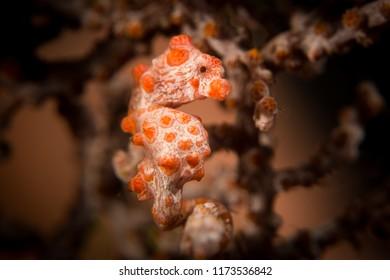 A Pygmy Seahorse - Hippocampus bargibanti - in its host gorgonion sea fan coral. Taken in Komodo National Park, Indonesia.