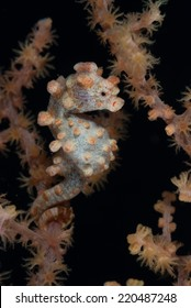 A Pygmy Seahorse ( Hippocampus Bargibanti ) wrapped is tail on a seafan coral gorgonia