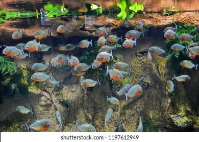 Pygocentrus nattereri. Flock of ferocious Amazonian piranhas under water on the background of the soil near the shore