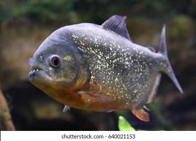 Pygocentrus nattereri. Piranha closeup in the aquarium