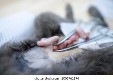 Pyometra cat uterus infection and inflammation.Feline's open surgery with womb swelling with pus.Animal operation on belly.Sick kitty. Surgical tools.