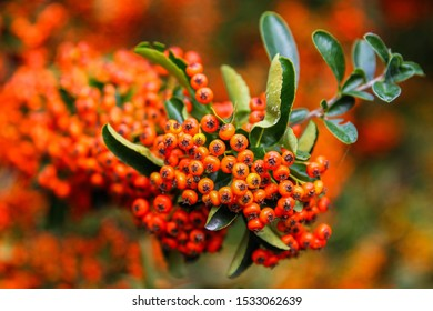 pyracantha, bright beautiful decorative red berries on bushes, red autumn bright viburnum berries, mountain ash, autumn landscape, selective focus, pyracantha Bush, orange brush and branches with ber
