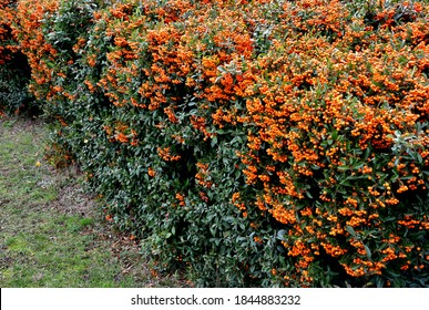 Pyracantha ( firethorn ) attractive orange berries and utumn rain. Pyracantha coccinea orange glow firethorn is excellent evergreen hedge, wall or fence in public park. rows of rectangular shape