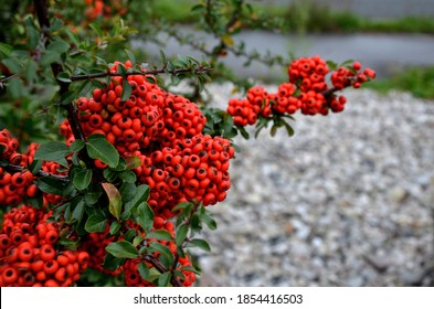 Pyracantha  firethorn  attractive orange berries and utumn rain. Pyracantha coccinea orange glow firethorn is excellent evergreen hedge, wall or fence in public park. rows of rectangular shape