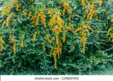 Pyracantha or firethorn is pretty shrub with attractive yellow or orange berries in autumn and winter. Pyracantha firethorn as excellent evergreen hedge, wall or fence