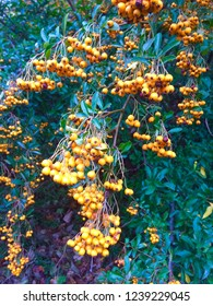 pyracantha orange berries, discovering nature, natural walking.