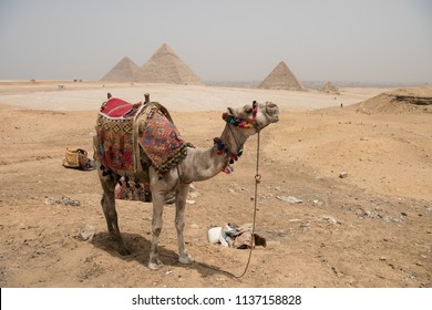 Pyramids of Gizeh with camel in traditional costume outfit. Pyramid of Egypt