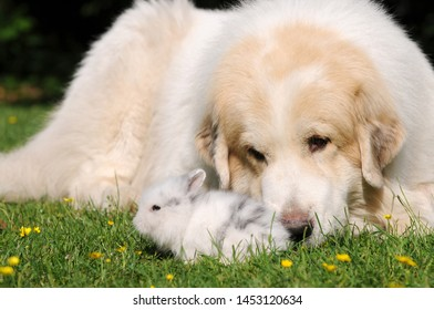 Pyrenean Mountain Dog and small white rabbit on meadow in the garden