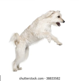 Pyrenean Shepherd, 2 years old, leaping in front of white background, studio shot