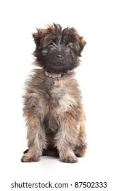 Pyrenean Shepherd puppy in front of a white background