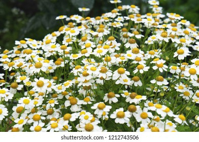 Pyrethrum parthenium or chrysanthemum parthenium white flowers