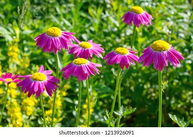 Pyrethrum pink flower (lat. Pyrethrum roseum), or Persian daisies bloom on a flower bed in the garden