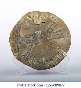 Pyrite sun (dollar). Closeup.
