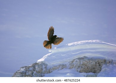 Pyrrhocorax graculus, Alpine Chough. High mountainous black bird from crow family, landing on snowy rock with outstretched wings. Italy, Passo Rolle, Dolomites.