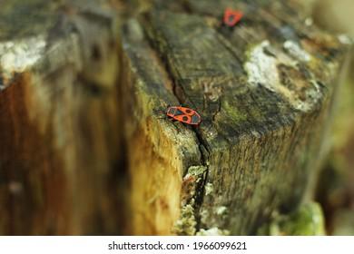 Pyrrhocoris apterus in nature. European firebug