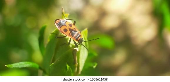 Pyrrhocoris standing on plant (gendarme)