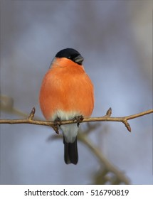 Pyrrhula pyrrhula, Common Bullfinch, isolated colorful male perched on twig against winter sky. Passerine in winter. Close up, vertical photo of brightly colored garden bird. Europe, Czech republic.