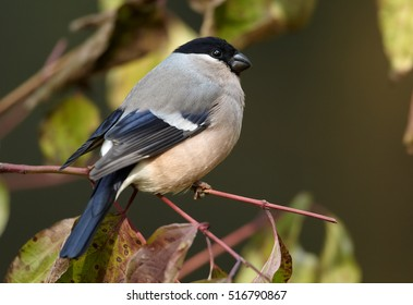 Pyrrhula pyrrhula, Common Bullfinch, photo of female perched on twig. Bird with autumn leaves. Autumn, Europe, Germany.