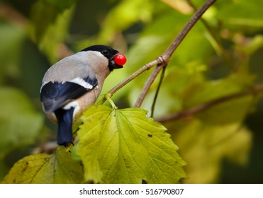 Pyrrhula pyrrhula, Common Bullfinch, wildlife photo of colorful female feeding  on red berries, among brightly colored autumn leaves. Autumn, Europe, Germany.