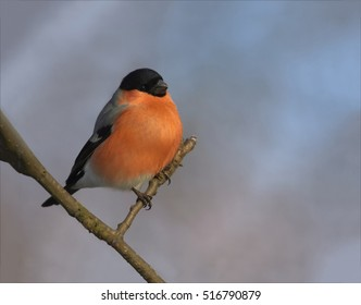 Pyrrhula pyrrhula, Common Bullfinch,isolated colorful male perched on twig against winter sky. Passerine in winter. Close up, horizontal photo of brightly colored garden bird. Europe, Czech republic.