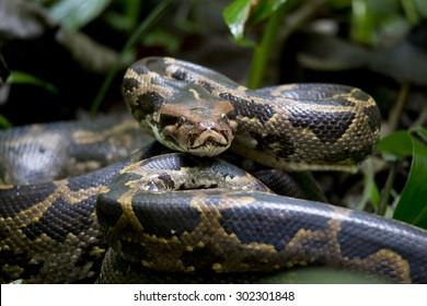 Python closeup