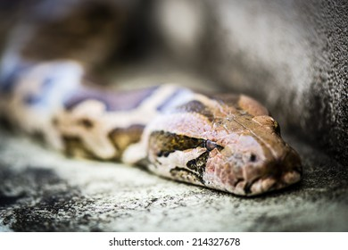 Python, is a genus of nonvenomous pythons found in Africa and Asia. Python Reticulatus, is among the longest snake species and extant reptiles in the world.