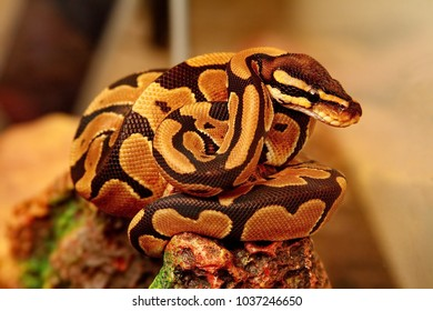 Python (Latin Pythonidae) is a family of non-venomous snakes. Sizes python range from 1 to 6-7 m (mesh python). Often pythons settle near water; well swim and dive.