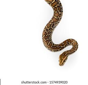 ฺBurmese Python on Isolate White