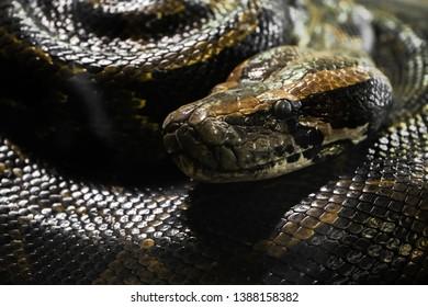 Python portrait close up photo