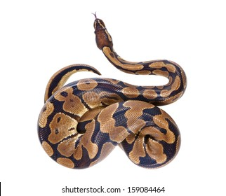Python regius with tongue sticking out, on white background, it is also known as royal python or ball python