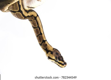 Python regius - A young ball python hanging down from the corner of the image. It's camouflage colors have an amazing pattern. The curious snake is a pet reptile that is isolated on a white background