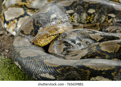 python snake in the cage