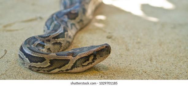 Python snake . Dangerous animal