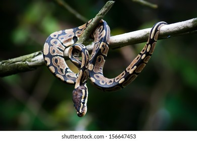 Python snake hanging on a tree