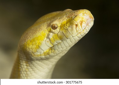 Python snake with head up and watching