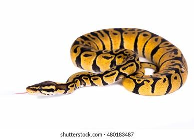 python snake isolated on white background.