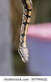 Python snake portrait while coming