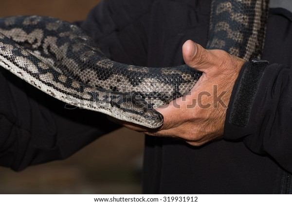 Python snake portrait while hanging from man