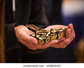 The Python snake at the terrarium fair