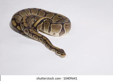 Python studio shot