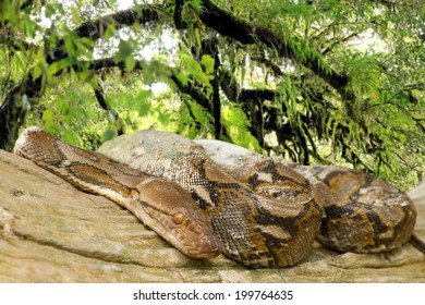 Pythons lay curled up in a tree in the rainforest.