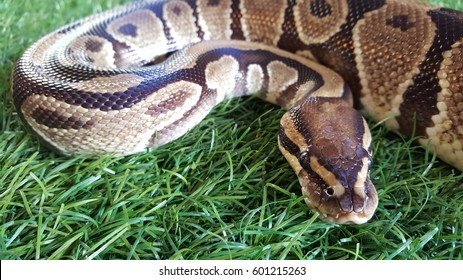 Pythons (Pythonidae), are a family of nonvenomous snakes found in Africa, Asia, and Australia. Among its members are some of the largest snakes in the world.