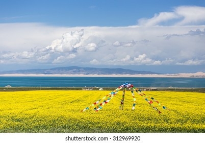 Qinghai Lake blooming canola flower
